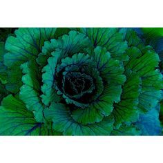 Teal Green Blue Leaves of a Cabbage Surreal Enhanced Color Garden... ($6.50) ❤ liked on Polyvore featuring home, home decor, wall art, photographic wall art, leaf wall art, vegetable wall art, teal home accessories and photography wall art