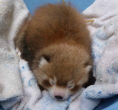 6-week old red panda