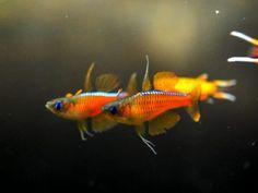 .Pseudomugil Gertrudae Rainbowfish...Next fish for my tank.  Can't wait!