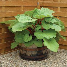 Rhubarb 'Fulton's Strawberry Surprise' (Spring Planting) - Rhubarb Plants - Thompson & Morgan
