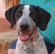 Otis is a junior puppy with a terrific disposition, a social and playful boy who adores people and dogs!  He is a Blue Tick Hound, just 6 months of age, a neutered boy, debuting for adoption today at Nevada SPCA (www.nevadaspca.org).  Otis is reportedly great with kids, but still jumps on people so he may frighten young children.  He is reportedly housetrained and crate-trained too.  Please visit and ask for Otis by name.