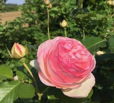 Horticulturally speaking, pink roses are a classic—they were the first color rose cultivated, since pink roses are most common in the wild.