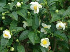 Λευκό Τσάι - Camellia Sinensis Τα φύλλα έχουν χρησιμοποιηθεί στην παραδοσιακή κινεζική ιατρική και άλλα ιατρικά συστήματα.  Πρόσφατη ιατρική έρευνα για το τσάι (οι περισσότεροι εκ των οποίων ήταν στο πράσινο τσάι) αποκάλυψε διάφορα οφέλη για την υγεία, αντιβακτηριακές ιδιότητες και τις θετικές επιπτώσεις για την απώλεια βάρους. Θα το βρείτε στο προϊόν #281 Sonya Nourishing Serum και #279 Sonya Aloe Refreshing Toner.
