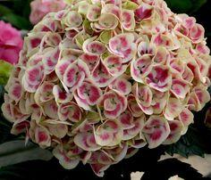 Mars Cityline Hydrangea (Hydrangea macrophylla Cityline Mars) at Wayside Gardens Hydrangea Macrophylla, Hortensia Hydrangea, Hydrangea Garden, Hydrangea Flower, Pink Flowers, Dwarf Hydrangea, Bloomstruck Hydrangea, Nature, Colors