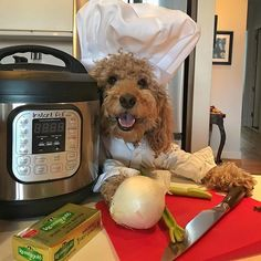 Why Samson the Goldendoodle is Breaking the Internet Cute Funny Dogs, Cute Funny Animals, Cute Baby Animals, Goldendoodle Funny, Yorkie Puppy, Super Cute Puppies, Cute Little Puppies, Funny Animal Photos, Dog Pictures