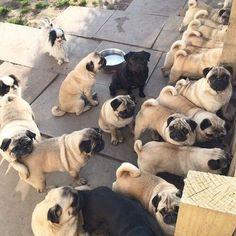 Heaven on Earth....oodles of pugs. #pug