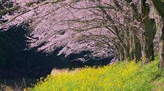 Sakura in Japan  Cherry Blossoms
