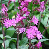 Wild flower boarder - plant: Red campion