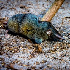 This badass little shrew is probably stronger than you are
