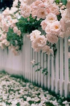 gardens fence Proven Winners - Plants you can count on Pink flowers and white picket fence Light Pink Rose, Pink And White Flowers, Colorful Roses, Pale Pink, Pink White, Picket Fence Garden, White Picket Fence, White Fence, Picket Fences