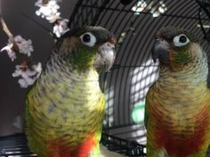 LOST CONURE: 08/21/2017 - Outer Mission, San Francisco, California, CA, United States. Ref#: L35771 - #CritterAlert #LostPet #LostBird #LostParrot #MissingBird #MissingParrot #LostConure #MissingConure