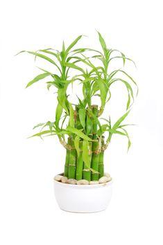 Pachira with Panda Vase Simbolize Fortune Jmbamboo 5 Money Tree Plants Braided Into 1 Tree