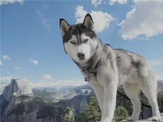 Popular    Siberian Husky Pictures for Dog Lovers