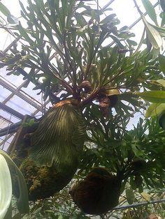 https://flic.kr/p/5MwAm8 | platycerium-ridleyi-www.platyceriumferns.com | This is a mature (staghorn fern) Platycerium ridleyi (short form) You can buy a Platyceycerium ridleyi at www.platyceriumferns.com
