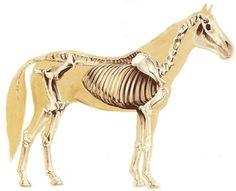 esqueleto caballo - Buscar con Google