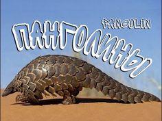 Панголины — Pangolin