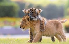 Lion and Tiger cub are best friends at Japan Zoo