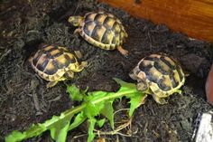 3 Juvenile Marginated Tortoises available For Sale in Taunton