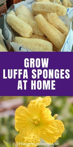 Did you know you can grow your own luffa in your garden? Luffa sponge plants are actually a gourd! How to grow and use loofah sponges and where to buy them. Luffa sponges are useful for the body, home, and are even edible. Organic Gardening, Gardening Tips, Vegetable Gardening, Indoor Gardening, Spring Garden, Home And Garden, Garden Modern, Loofah Sponge, Backyard Beekeeping