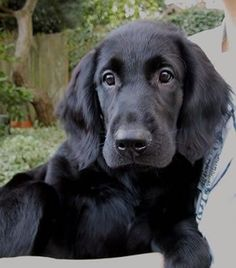 Flat Coated Retriever Pup~ Classic Look & Trim ~ Society of America,