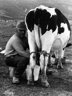 Castelluccio di Norcia, anni settanta. Un anziano contadino munge una vacca da latte impastorata che mangia la sua biada, alla quale sono state legate  con una pastoia le gambe posteriori per evitare che rovesci il secchio del latte.