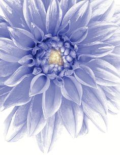 Blue Dahlia Canvas Print / Canvas Art by Al Hurley Blue Dahlia, Dahlia Flower, Amazing Flowers, Beautiful Flowers, Dahlia Tattoo, Periwinkle Color, Malva, Lavender Blue, Pantone Color