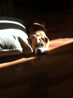My english bulldog!