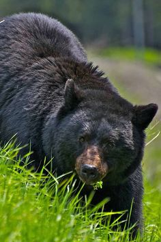 Superb Nature - funkysafari: Black bear by Animals And Pets, Cute Animals, American Black Bear, Wooly Bully, Bear Wallpaper, Love Bear, Bear Art, Polar Bear, Grizzly Bears