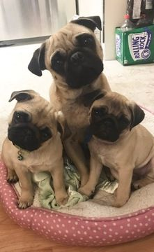 Pug Puppy For Sale In Rohnert Park Ca Adn 51527 On Puppyfinder
