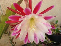Orchid Cactus joybringer