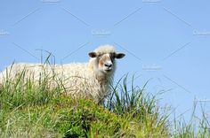 Sheep Photos Sheeps in a meadow in the mountains. Summer landscape by byrdyak