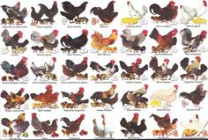 Different Types of Chickens So you are thinking about adding another chicken to your flock. There are all kinds of chicken breeds. Best Egg Laying Chickens, Fancy Chickens, Types Of Chickens, Keeping Chickens, Chickens And Roosters, Pet Chickens, Raising Chickens, Chickens Backyard, Different Breeds Of Chickens