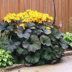 Bog Plants, Shade Plants, Water Plants, Garden Plants, Flowers Garden, Bog Garden, Shade Garden, Yellow Plants, Yellow Flowers
