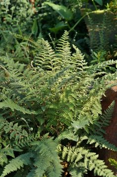 Cheilanthes tomentosa | Wooly Lip Fern| plant lust