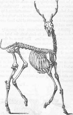 Skeleton of the stag