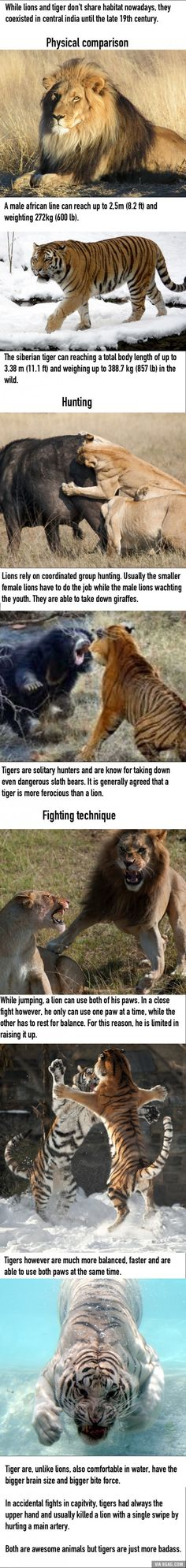 Tiger vs Lion, who would win?