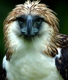 The Monkey-eating Eagle (Pithecophaga jefferyi) is also known as the Great Philippine Eagle and Haribon. It is endemic to the Philippines. Beautiful Birds, Animals Beautiful, Majestic Animals, Adorable Animals, Our National Bird, Philippine Eagle, Harpy Eagle, Eagle Pictures, Animal Pictures
