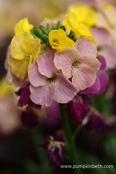 Erysimum 'Paintbox' from Daisyroots Nursery at The RHS London Spring Plant Extravaganza, in the RHS Lawrence Hall.
