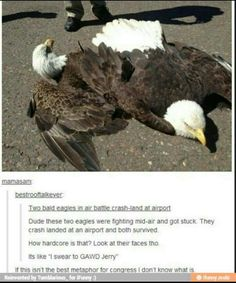 They were PROBABLY actually doing that mating thing where they lock talons and fall down together before swooping apart but they must've messed up for some reason? Idk why tho but I highly doubt that they were fighting lol