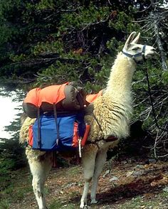 Ready to go hiking! Animal Throws, Llama Alpaca, Go Hiking, Alpacas, Ready To Go, Trekking, Sheep, Goats, Cute Animals