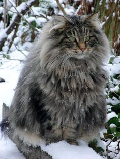 Norwegian Forest Cat *  * CAT SNIP: What could be more magnificent than a large emerald eyed cat with a long flowing mane and tail that can fan out to 12 inches or more? It's not surprising that the Norwegian Forest Cat, which  emerged from the forests 4,000 years ago, accompanied the Vikings around the world, protecting their grain stores on land and sea, and leaving their feline progeny in North America.