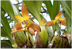 Maxillaria Brasiliorchis consanguínea; by JM.Garijo, via Flickr