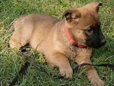 German Shepherd Akita Mix Puppies Shepkita Puppies Shepherd
