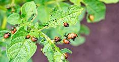 1 . Un pachet de muștar uscat se dizolvă într-o găleată cu apă, se adaugă 100 ml de oțet de 9 %, se amestecă bine și se stropesc cu acest amestec frunzele de cartofi. În urma acestei proceduri simple gândacii vor dispărea. 2. Plantele solanacee pot fi protejate de invazia gândacului de Colorado cu ajutorul cenușii de lemn. Puneți,în timpul plantării cartofilor sau răsadurilor de roșii, câte un pic de cenușă în fiecare groapă și apoi presărați ușor suprafața solului. Imediat ce vor începe a… Small Farm, Vegetable Garden, Colorado, Organic, Vegetables, Sad, Potatoes, Gardening, Ideas