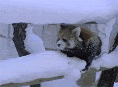Winter is annoying…GIF and this may be one of the few times it's ok to laugh at a panda in distress