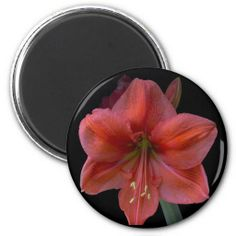Amaryllis Fridge Magnet by Florals by Fred #zazzle #gift #photogift