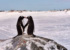 two gentoo penguins (pygoscelis papua) in love in antarctica standing on a rock with an icy white background looking at each other holding hands Penguin Art, Penguin Love, Penguins And Polar Bears, Cute Penguins, Beautiful Birds, Animals Beautiful, Pinguin Tattoo, Animals And Pets, Cute Animals
