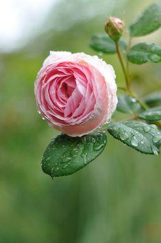 バラ イングリッシュローズ 'ジェフハミルトン'    in my garden  Rose   English Rose 'Geoff Hamilton '