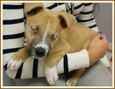 Houston SPCA uses a blind puppy to raise big $$, but KILLS ALL PIT BULLS..including the blind puppy in this picture