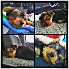 My baby Charlie (: #yorkie #baby #spoiled #rotten #fellinlove #ridehome #sevenwksold #cute #love #sweetheart #camera360 #teamandroid #instagram - @jovichic- #webstagram 9/28/12